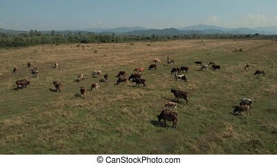 Herd of cattle on rural farmland. Dairy cattle grazing on grassland in countryside. View from above.