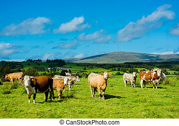 Herd of Cattle on Sunny Pasture