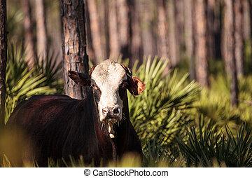 Herd of cattle travel through a marsh in Louisiana