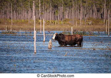 Herd of cattle travel through a marsh in Louisiana