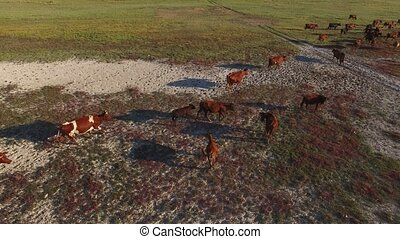 Herd of cows aerial shot