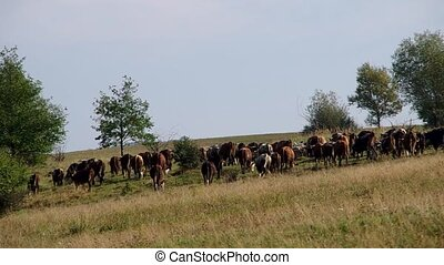 Herd of cows and flock of sheep