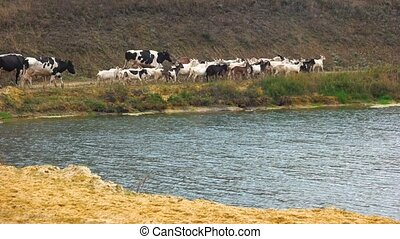 Herd of cows and goats walking along river.