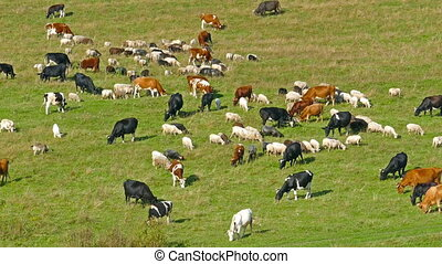 herd of cows and sheep grazing on meadow