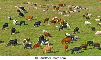herd of cows and sheep grazing on meadow - herd of cows and...