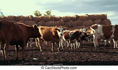 Herd of cows at livestock farm on background hay stack.