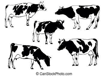cow - herd of cows