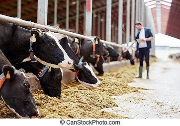 herd of cows eating hay in cowshed on dairy farm - ...