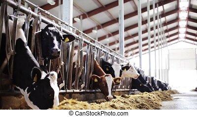 herd of cows eating hay in cowshed on dairy farm -...