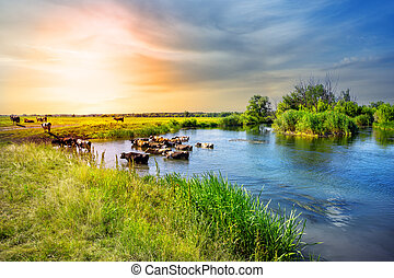 Herd of cows emerges from lake at sunset