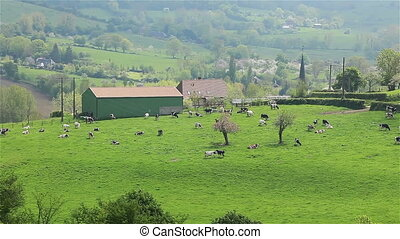 Herd of cows grazing in green pasture grass meadow on a hill, France. 2 shots. Pan