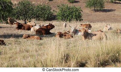 Herd of cows grazing in a meadow, Algarve Portugal