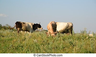 herd of cows grazing