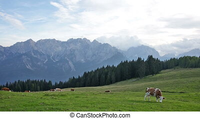herd of cows grazing in a pasture in mountains, Alps, ...