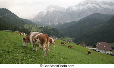 herd of cows grazing in a pasture in mountains, Alps
