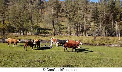 Herd of cows grazing in meadow near the mountain river, summer in clear weather