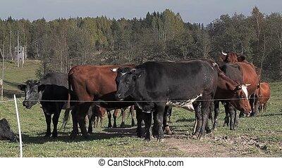 Herd of cows grazing in the meadow