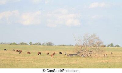Herd of cows grazing in the open fi