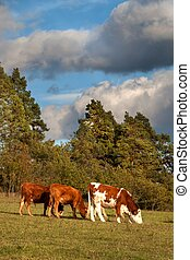 Herd of cows grazing near the forest. A sunny autumn evening on the pastures.