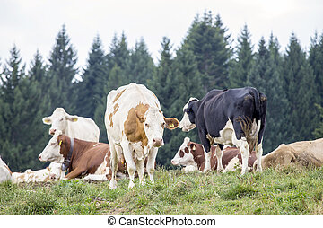 Herd of cows grazing on a alpine pasture