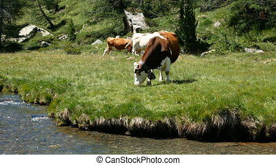 Herd of cows grazing on the shore of a river