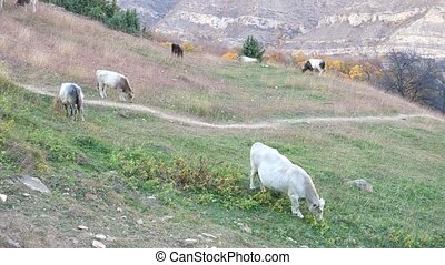 Herd of cows in a meadow in the mountains