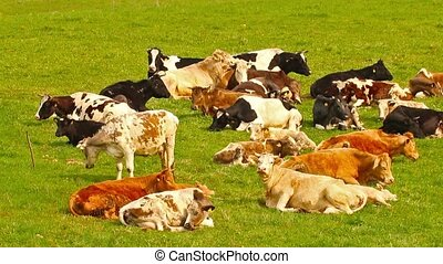 herd of cows in a meadow