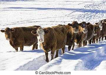 Herd of cows in a snowy field.