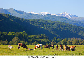 herd of cows is grazed on a summer pasture against snow-covered mountains in a sunny day