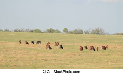 Herd of cows nipping the grass in l - Herd of brown and...