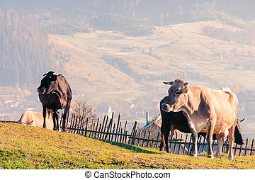 herd of cows on a grassy hill. fence and village in the...
