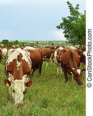 Herd of cows on a meadow