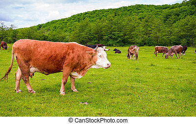 herd of cows on a pasture in mountains. big rufous cow in...