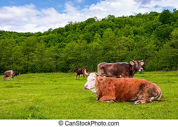 herd of cows on a pasture in mountains. fat rufous cow lay...