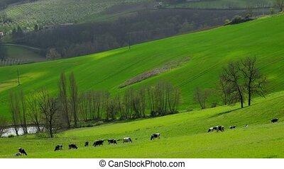 Herd of cows on pasture, lot et garonne, 47, france