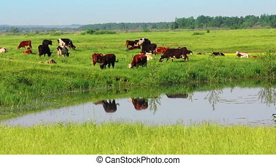herd of cows on pasture near lake
