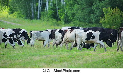 herd of cows on pasture