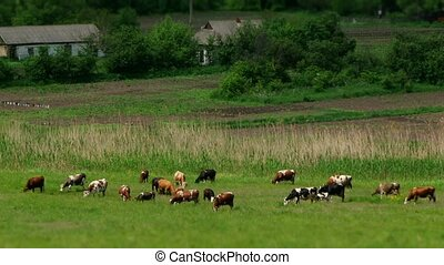 Herd Of Cows On The Farm