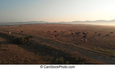 Herd of cows on the idylic valley. Wide field for grazing. ...