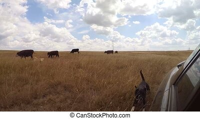 herd of cows on the meadow