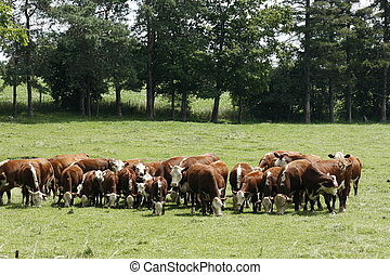 Herd of Cows - A herd of Cows on a country drive in Brant...