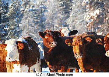 cows - herd of cows