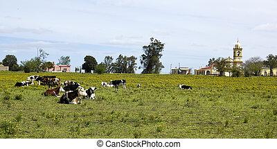 Herd of cows resting in Uruguay. Uruguay is one of the ...