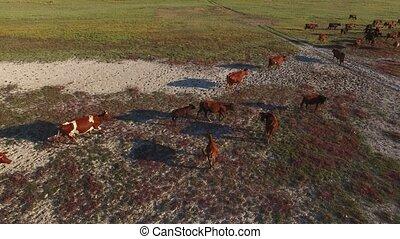 Herd of cows aerial shot