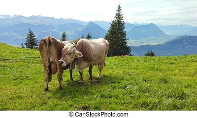 white cows with horns grazing on a meadow with Lake Zug and Lake Lucerne and Rigi mountains around in the background. Canton of Lucerne, Central Switzerland.