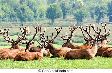 Herd of deer - a herd of deer resting