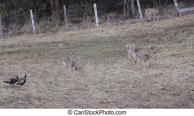 The deer are grazing and a flock of turkeys walk by. The deer watch closely becuase the turkeys are moody .