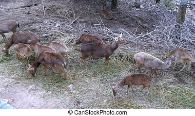 Herd of deer with antlers in the wild grazing on the meadow...