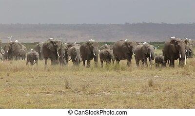 Herd of elephant walking across dusty plains in Amboseli...