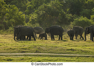 Herd of elephants at sundown